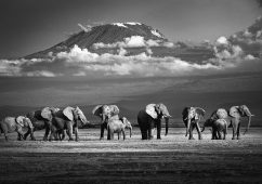 Elephants, Amboseli, Kenya 2019 Canson fine art print,Image size: 74,5×112,4cm