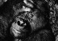 Gorilla, Bwindi's impenetrable forest, Uganda 2019 (Bwindi's Thinker) Canson fine art print, Image size: 53×79,6cm