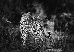 Leopard, Three River Queen, South Africa 2019 Canson fine art print, Image size: 77×112,6cm